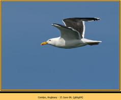 gt-b-backed-gull-04.jpg