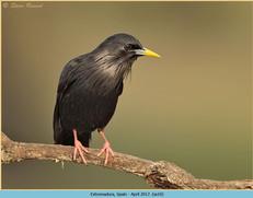 spotless-starling-10.jpg