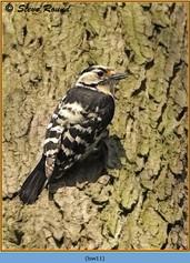 lesser-spotted-woodpecker-11.jpg