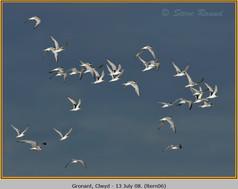 little-tern-06.jpg