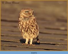 little-owl-25.jpg