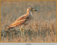 stone-curlew-01.jpg