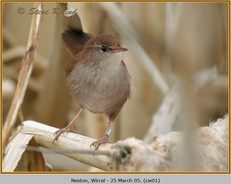 cettis-warbler-01.jpg