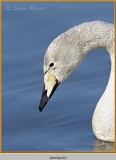 whooper-swan-26.jpg