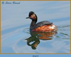 black-necked-grebe-13.jpg