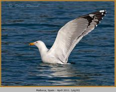 yellow-legged-gull-30.jpg