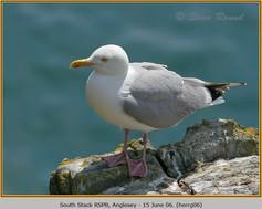 herring-gull-06.jpg