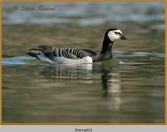 barnacle-goose-02.jpg
