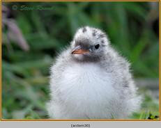 arctic-tern-30.jpg