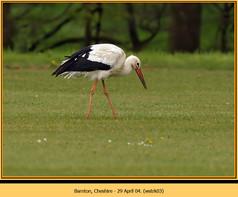 white-stork-03.jpg