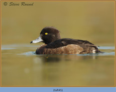 tufted-duck-45.jpg