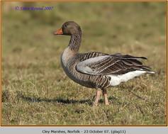 greylag-goose-11.jpg