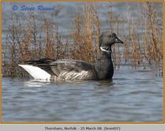 brent-goose-07.jpg