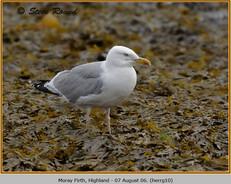 herring-gull-10.jpg