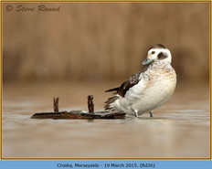 long-tailed-duck-26.jpg