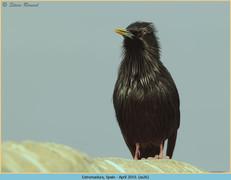 spotless-starling-26.jpg