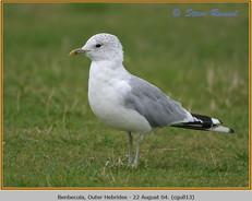 common-gull-13.jpg