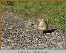 short-toed-lark-08.jpg