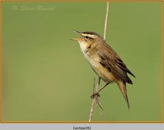 sedge-warbler-28.jpg