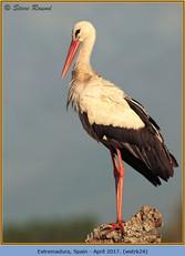 white-stork-24.jpg