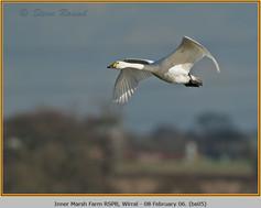 bewick's-swan-05.jpg