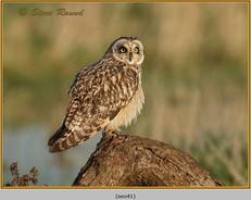 short-eared-owl-41.jpg