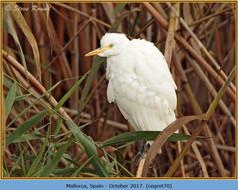 cattle-egret-70.jpg