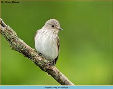 spotted-flycatcher-34.jpg