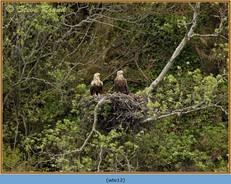 white-tailed-eagle-12.jpg