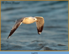 common-gull-39.jpg