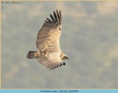 griffon-vulture-69.jpg