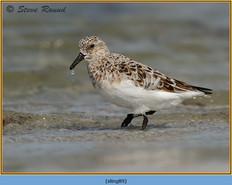 sanderling-89.jpg