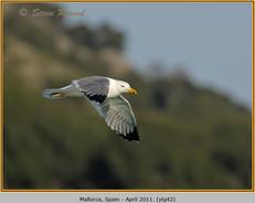 yellow-legged-gull-42.jpg