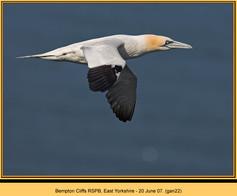 gannet-22.jpg