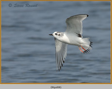 little-gull-08.jpg