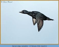 common-scoter-11.jpg