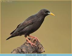 spotless-starling-03.jpg