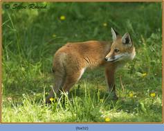 fox-52.jpg