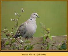 collared-dove-09.jpg