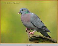 stock-dove-24.jpg