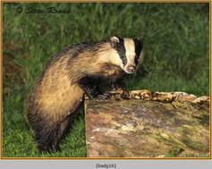 badger-16.jpg
