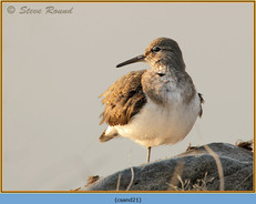 common-sandpiper-21.jpg