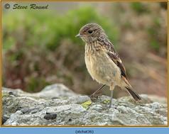 stonechat-36.jpg