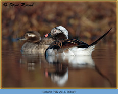 long-tailed-duck-50.jpg