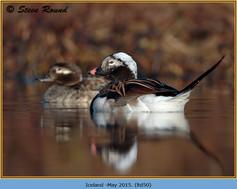 long-tailed-duck-50.jpg