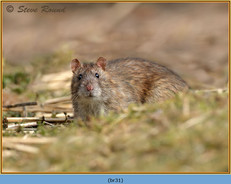brown-rat-31.jpg