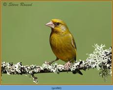greenfinch-80.jpg