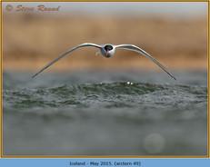 arctic-tern-49.jpg