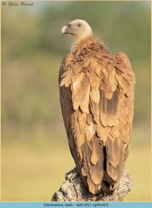 griffon-vulture-47.jpg