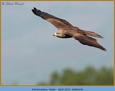black-kite-24.jpg
